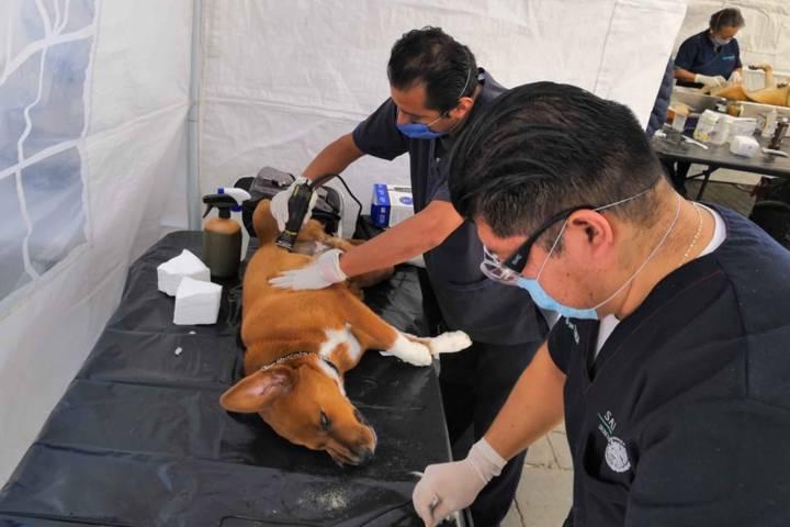 Realiza SESA más de 400 cirugías de esterilización en la capital del estado