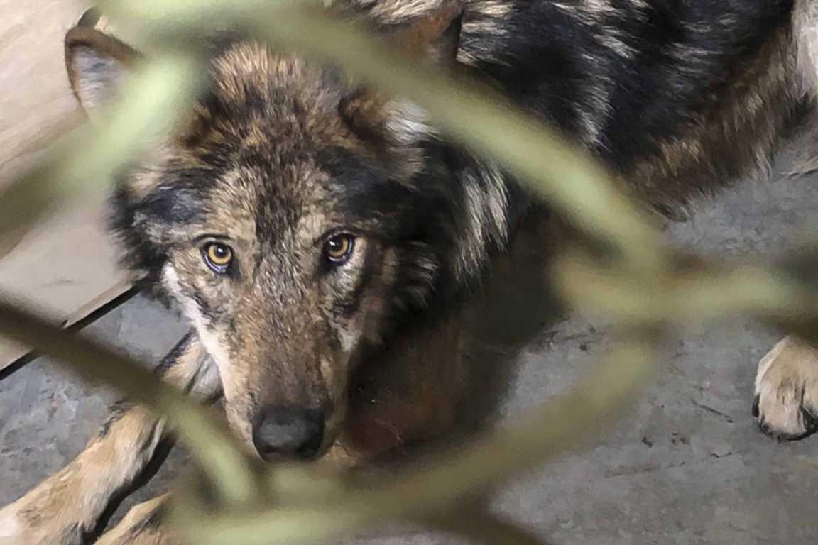 Llegan al Zoológico De Tlaxcala tres ejemplares de lobo mexicano