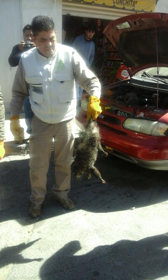Rescatan a un tlacuache atrapado en el motor de una camioneta