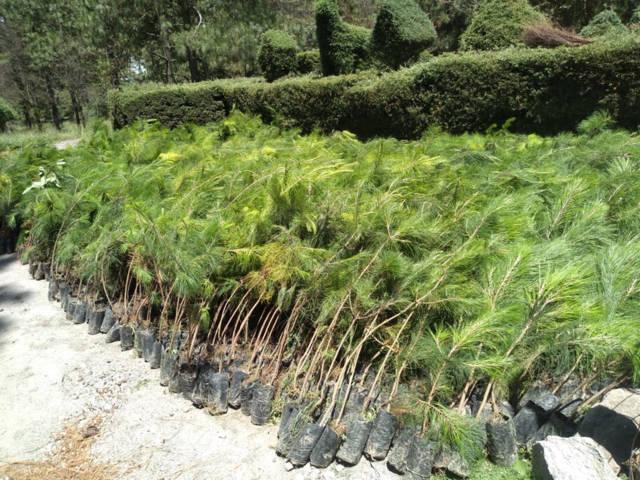 """Entrega CGE 450 mil árboles como parte del programa de reforestación """"Plantando Un Futuro"""""""