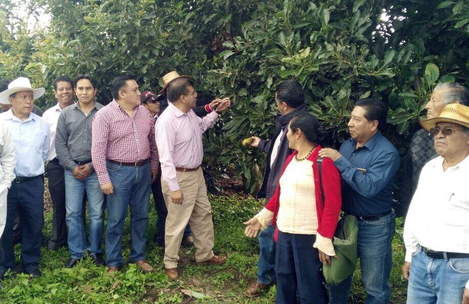Sefoa innova técnica en cultivos de aguacate