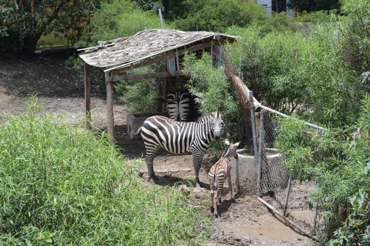 Registra Zoológico de Tlaxcala nacimiento de una cebra