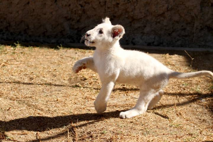 Invita Zoológico del Altiplano a conocer al cachorro de león blanco