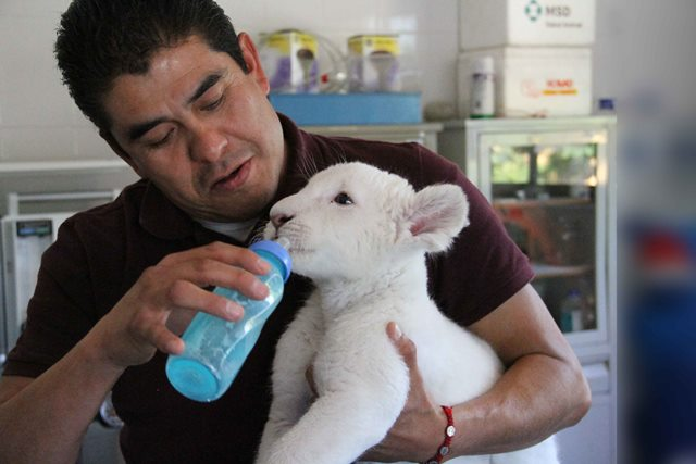 Domingo, entrada gratis al zoológico para ver a Xonotli