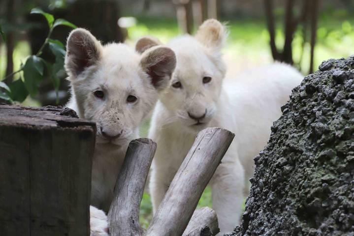 Registra CGE nacimiento de 29 ejemplares en el Zoológico De Tlaxcala