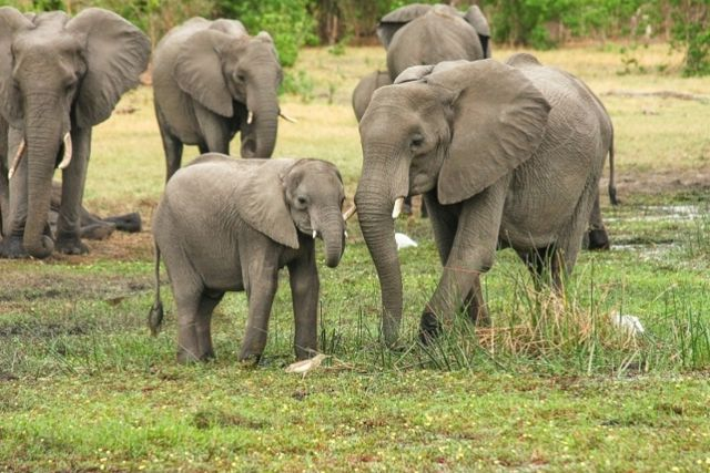 Liberan a 78 elefantes ante la ausencia de turismo por el COVID-19
