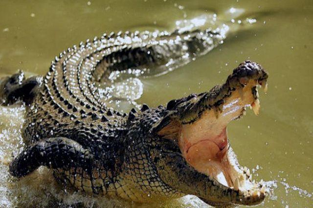 Ante la ausencia de personas, cocodrilos salen a las playas de México