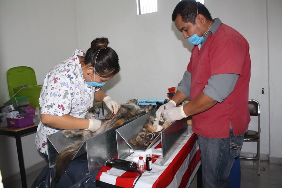 Inicio segunda campaña de esterilización en Zacatelco