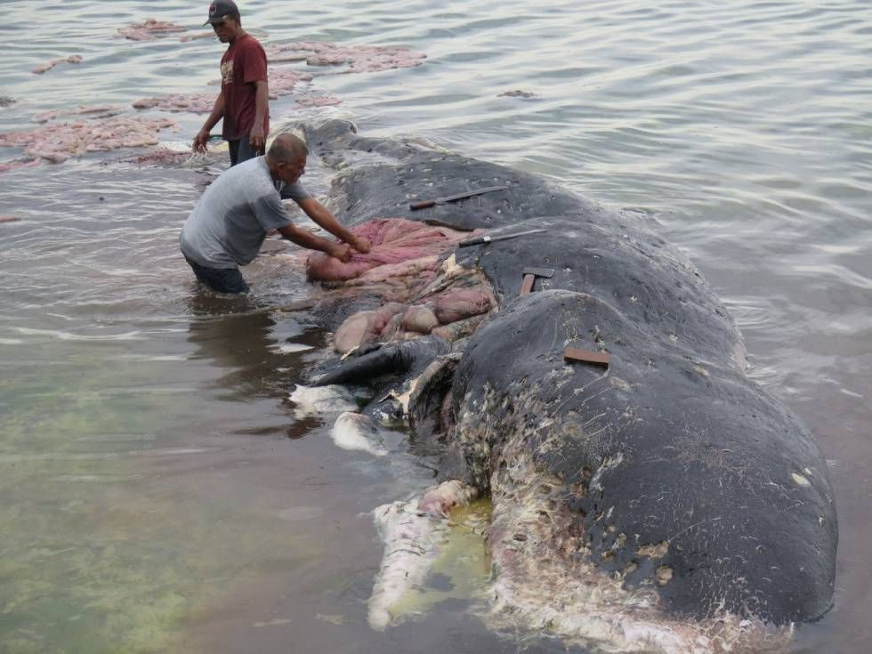 Encuentran en Filipinas ballena muerta con varios kilos de plástico en el estómago