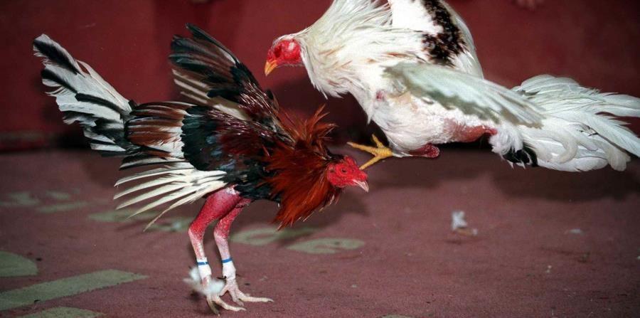 Pelea de gallos produce en Tailandia grandes cantidades millonarias