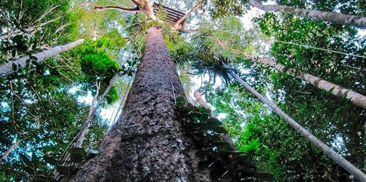 Unos científicos hallan el árbol más alto del Amazonas midiendo 88 metros