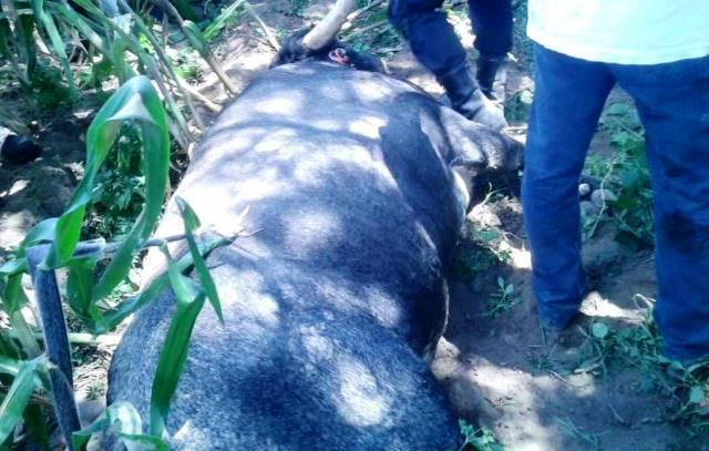 Un muerto, lesionados y toros ultimados a tiros deja huamantlada