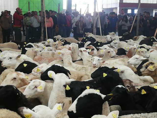 Con estos paquetes de ovinos impulsamos la economía de los campesinos: RZC