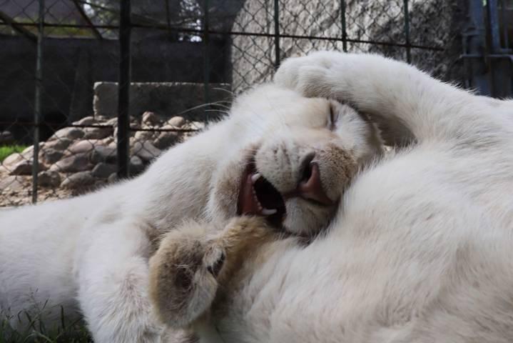 Zoológico del Altiplano traerá más Leones Blancos a Tlaxcala