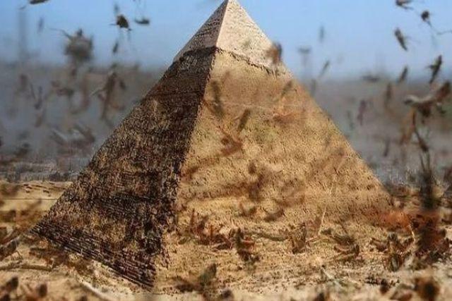 Captan aterradora plaga de langostas que amenaza a Egipto