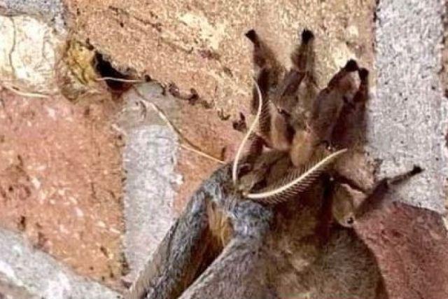 Captan aterradora tarántula con alas que atemoriza a EEUU y México