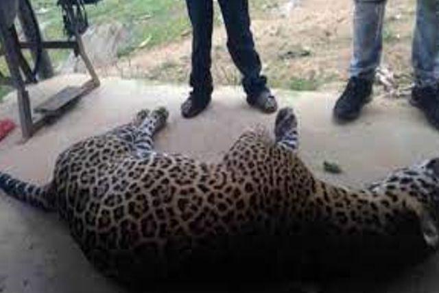 Oaxaca: Campesino envenena a un jaguar que mató a su burro