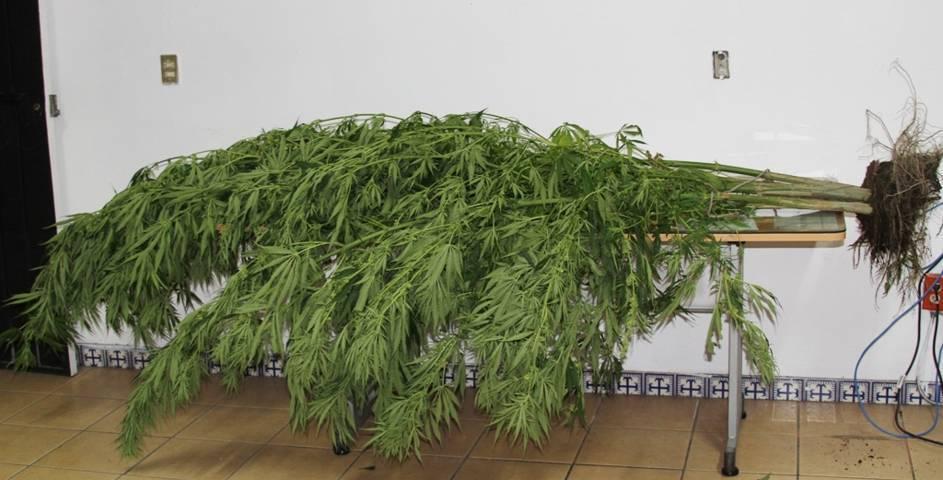 Incauta policías estatal y municipales plantas de marihuana