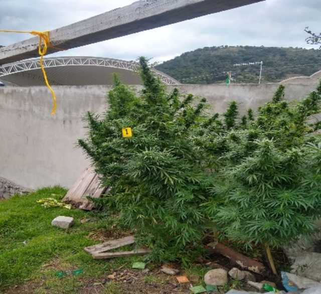 En un cateo la PFM asegura plantas de marihuana