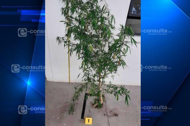 Presume la SSC haber asegurado una planta de marihuana en Nativitas
