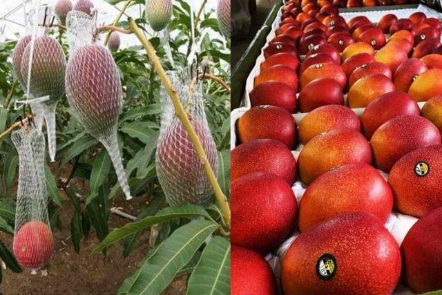 India: Cultivan por error valiosa variedad de mango que los llevo a pagar guardias