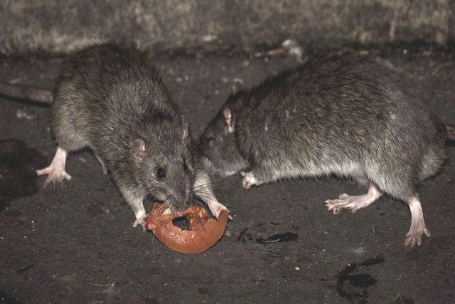 Alerta de canibalismo en ratas debido a la falta de basura que causa la cuarentena