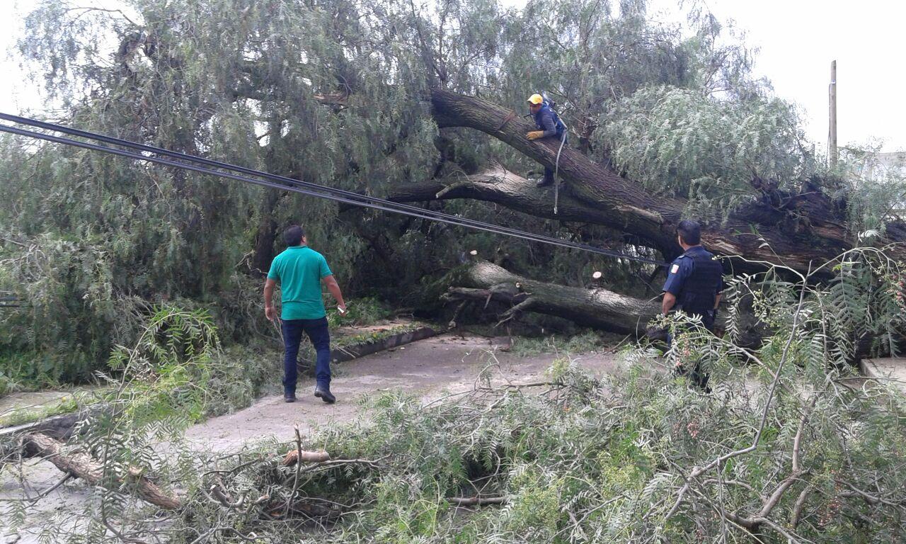 Árbol de más de diez metros, cae sobre carretera en Ixtacuixtla