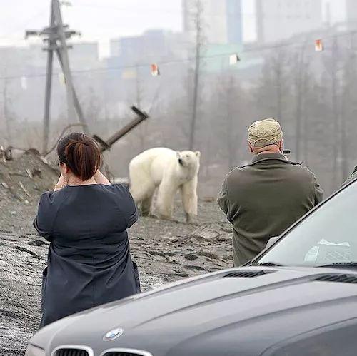 Captan a oso polar en la ciudad de Rusia en busca de alimento