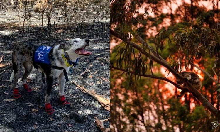 Él es Oso, el perro que ayuda a encontrar a koalas en el incendio de Australia