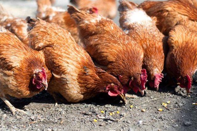 Abren convocatoria para adquirir aves de traspatio en Xiloxoxtla