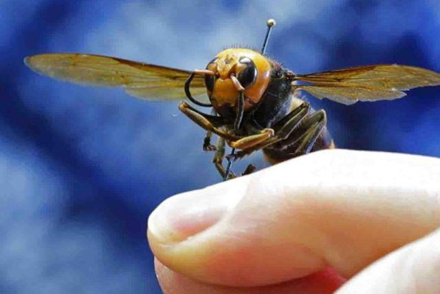 Alerta en EU por avispas gigantes que amenazan a la población