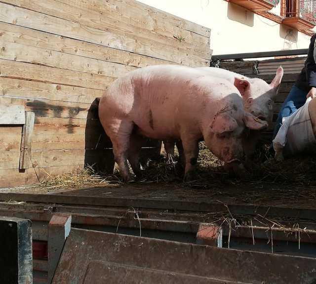 Ayuntamiento de Santa Cruz Tlaxcala entrega porcinas primerizas