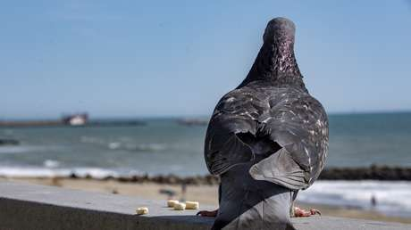 Un vuelo que salía de Rusia es retrasado por culpa de una paloma