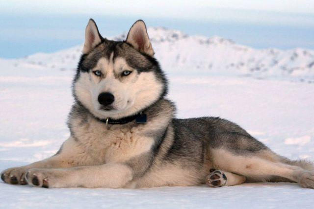 Científicos detectan la causa genética de perros esquimales de ojos azules en Israel