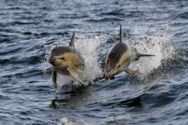 Militares de Rusia entrenan a delfines para fines tácticos en Siria