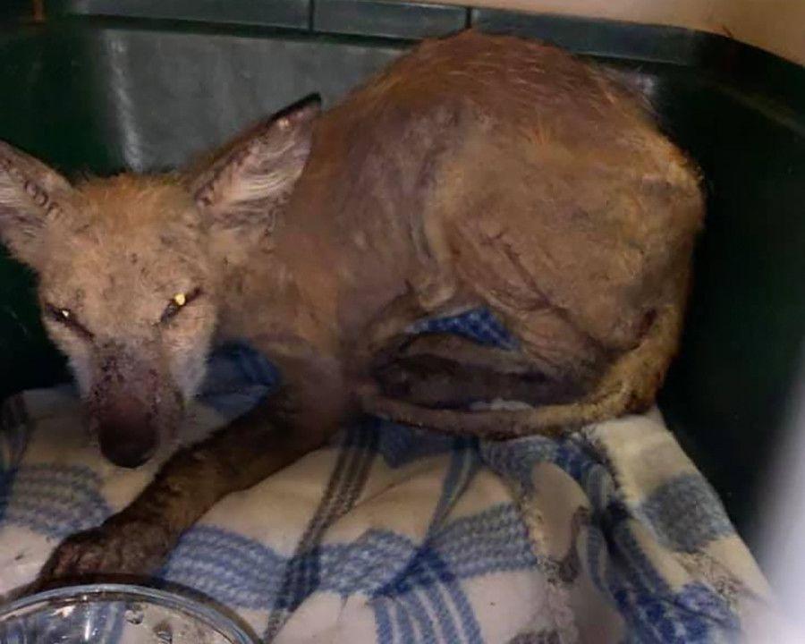 Salvan a extraño animal de una enfermedad que cambio su apariencia en EEUU