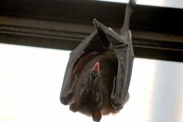 Descubren 6 tipos de coronavirus en murciélagos; Científicos