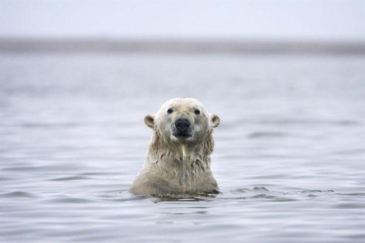 Científico afirma que los osos polares del Ártico se ven obligados a comer plástico
