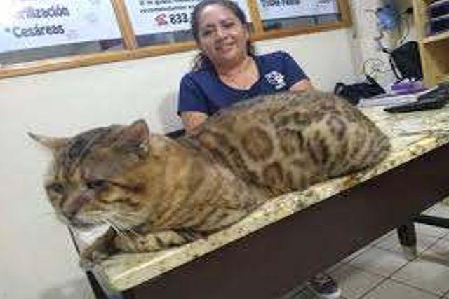 Confunden en Tampico un gato gigante por un leopardo