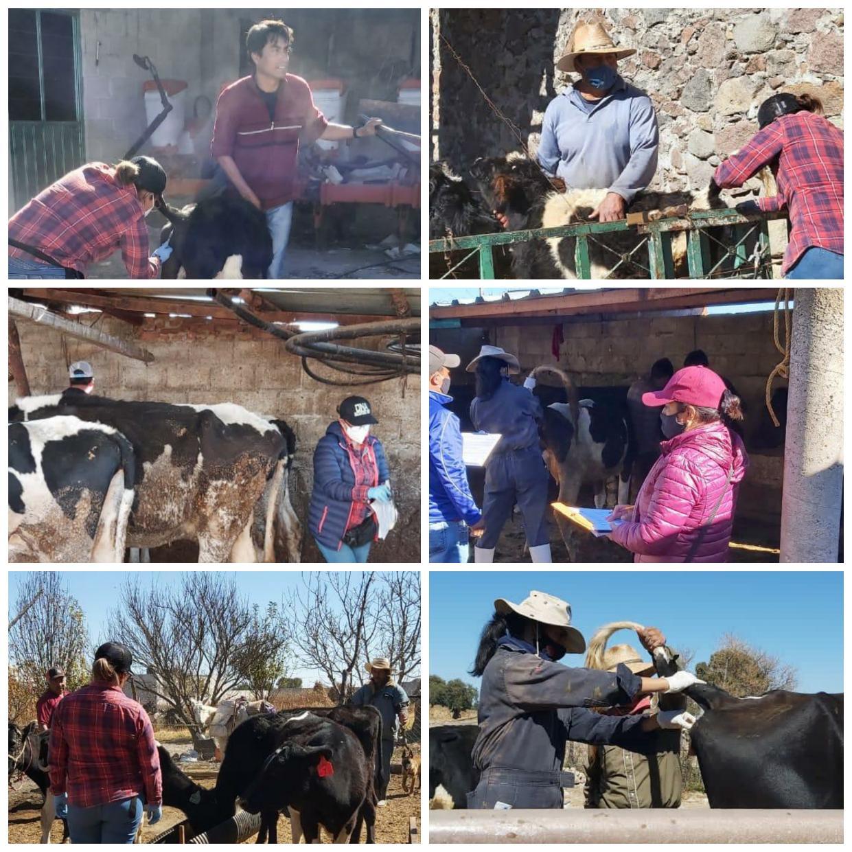Se benefician ganaderos de Ixtenco con campaña de vacunación gratuita a bovinos y caprinos