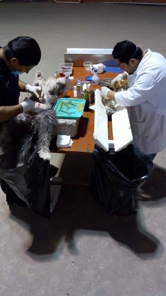 Con las 800 esterilizaciones de mascotas evitamos la proliferación: alcalde