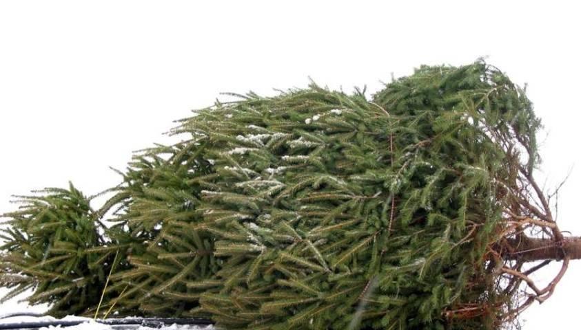 Implementa comuna de Tlaxcala Centro de Acopio de árboles de Navidad