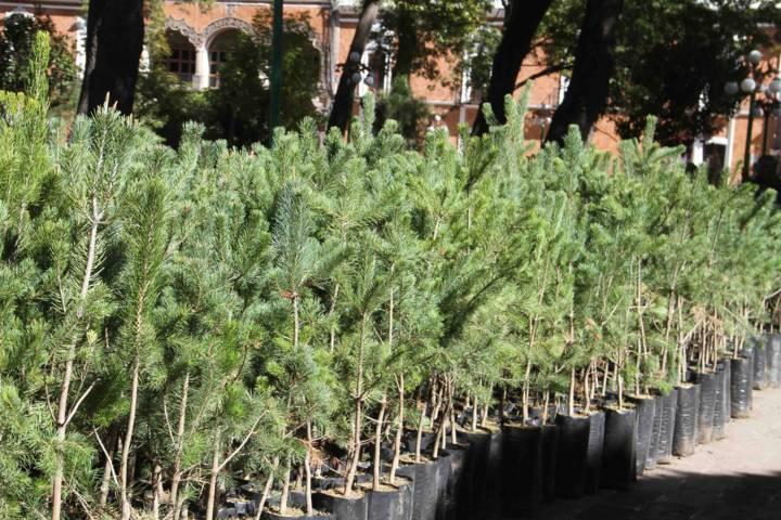 Promueve comuna capitalina Campaña de Reforestación