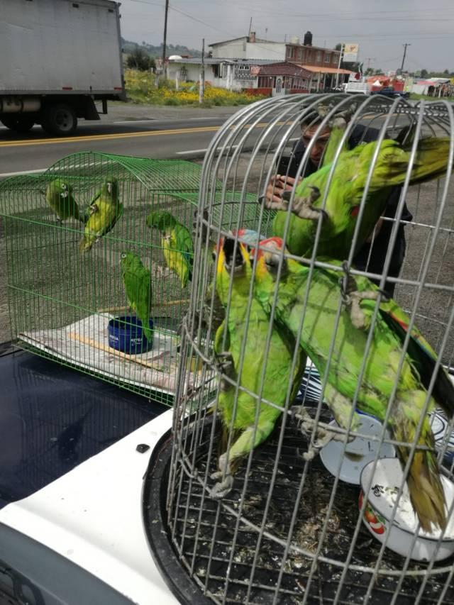 Rescatan nueve loros que transportaban sobre la carretera México-Cuernavaca