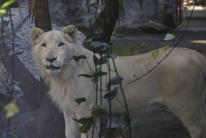 """Celebrará Zoo de Tlaxcala primer año del león blanco """"Xonotli"""""""