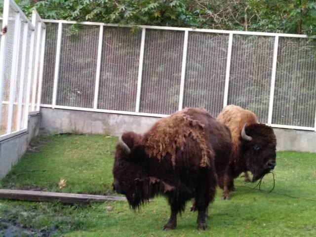 Llega pareja de Bisonte Americano al Zoológico Del Altiplano