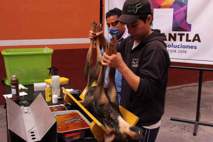 Inicia campaña de esterilización de perros y gatos en Huamantla