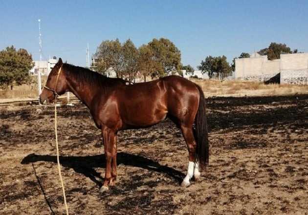 Roban caballos en el municipio de Apizaco; son ejemplares caros