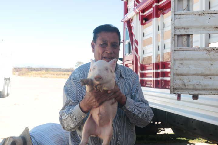 Alcalde beneficia a más de 100 productores con 160 porcinos