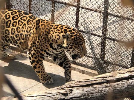 Garantizan que no volverá a escapar el jaguar de su jaula